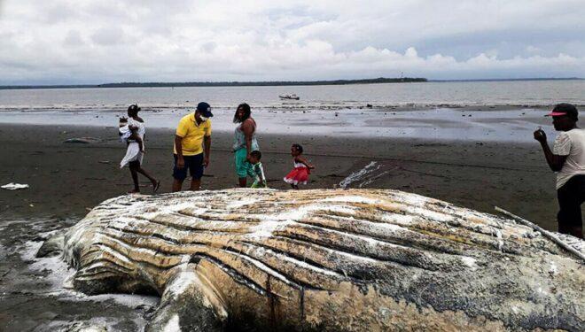 Hallan muerta a ballena jorobada cerca de playas de Buenaventura